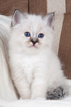 Ragdoll Cat... I have one that looks just like this! That