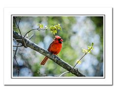 Cardinal Note Card with Envelope, Springtime Nature Bird Photo Card, Greeting Note Card, Red, Green, blank photo notecard