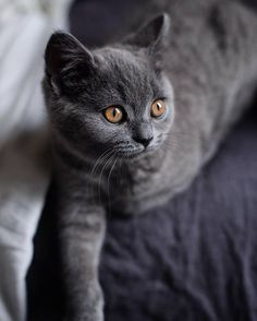 Val, citizen of the world and dreamer Grey Kitten, Grey Cats, Tortoiseshell Tabby, Chartreux Cat, Baby Animals, Cute Animals, Cute Cats And Kittens, Kitty Cats, Beautiful Cats