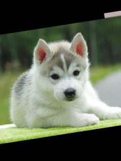 Darling Siberian Husky Puppy!