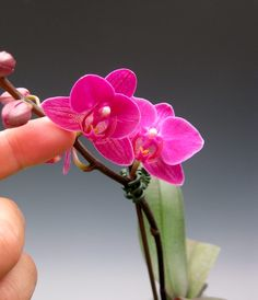 How small can you get? As small as this miniature moth orchid that beckons the admirer to take a closer look.. the orchid flowers are a unique fuchsia with purple.. makes a great addition to any decor .. don't you think?