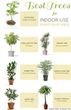 Best Trees for Indoor Use @iPlantPerfect