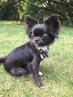 Long Coat Chihuahua, Cute Chihuahua, Chihuahua Puppies, Funny Animal Quotes, Funny Animals, Cute Animals, Big Dogs, I Love Dogs, Cute Dogs