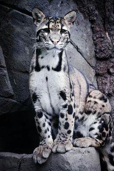 Beautiful clouded leopard.