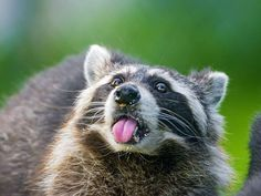 ANIMALS TIME : Racoon time (Hora del mapache)