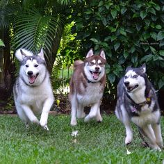 Try & catch them if you can! Siberian Huskies Akira, Blaze, Shiloh and Phènix from husky_quartet.