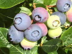 Highbush Blueberry, Plum, Fruit, Beautiful