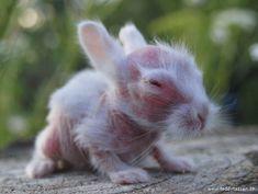 hairless rabbit, hairless bunny (7)-just weird