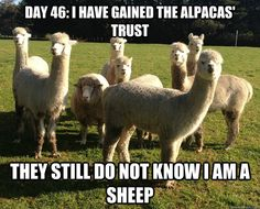Day 46: I have gained the alpacas' trust. They still do not know I am a sheep.