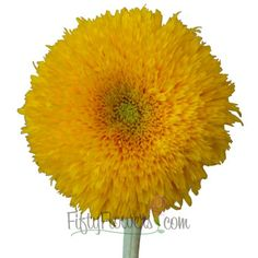 Yellow mini gerbera daisies green center available year round yellow mini gerbera daisies green center available year round yellow pinterest gerbera daisies gerbera and freesia flowers mightylinksfo