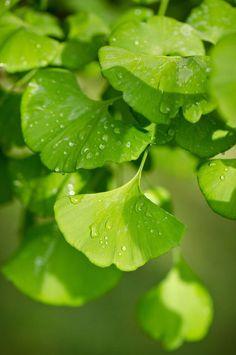 Botanical name: Ginkgo biloba Common name: Ginkgo tree, Maidenhair tree USDA zones: 3 to 8 Ginko Tree, Maidenhair Tree, Japanese Flowers, Contemporary Landscape, Green Trees, Belle Photo, Shrubs, Plant Leaves, Nature