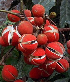 Red Pods ready to open Planting Seeds, Planting Flowers, Flora, Exotic Fruit, Seed Pods, Natural Forms, Dried Flowers, Trees To Plant, Mother Nature