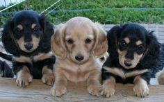 Miniature Dachshund Puppies.