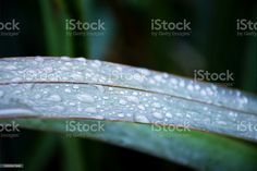 Lush Green Plant Background of Harakeke or New Zealand Flax Leaves A close-up background of the Harakeke or New Zealand Flax Leaves in green tones. Abstract Stock Photo New Zealand Flax, Plant Background, Photo Composition, Abstract Images, Lush Green, Green Plants, Image Now, Royalty Free Images, Close Up