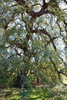 """500 year old live oak, the """"Treaty Oak"""" near downtown Austin. by Suzanne Haberman"""