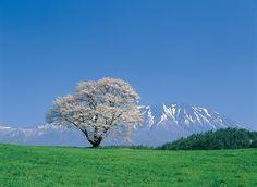 小岩井農場の一本桜と岩手山 岩手県雫石町