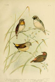 Chestnut-breasted Finch, White-breasted Finch, Yellow-rumped Finch, Painted Finch - high resolution image from old book. Bird Wings, Vintage Drawing, Bird Illustration, Wildlife Nature, Cute Birds, Botanical Prints, Bird Art, Bird Feathers, Mammals