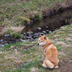 Pinを追加しました!/お友達行っちゃったね。また明日も遊んでくれるかな。 #shiba #dog #komugi #shibe #柴犬