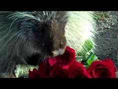 """I am totally in love with Teddy Bear. He's a very """"talkative"""" North American porcupine, and videos of him on Zooniversity's YouTube channel have gone viral. Who knew that porcupines are so adorable?"""
