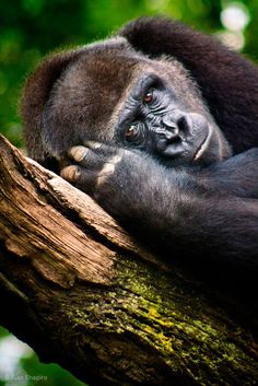 """""""Pensive (Hungry? Angry? Tired? Lonely?) Gorilla""""-- a Great Image for Us Homo Sapiens (S/he """"HALTed her/himself!)."""