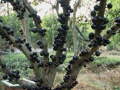 Confira mais de dez frutas e suas origens lugares de onde vêem e você nem imagina!