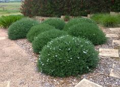 Mundi™ Westringia is a tough and beautiful ground cover shrub with masses of flowers