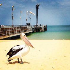 Tangalooma Resort Moreton Island Queensland Australia pelican jetty