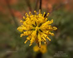 Fineleaf Hymenopappus (Hymenopappus filifolius) near Turkey Creek Trail, Arizona