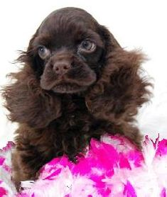 American Cocker Spaniel Puppies for Sale | Listing # 24608 : American Cocker Spaniels, Cockers *** Teacup and Toy ...