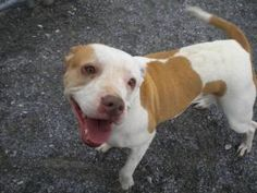 Donna is an adoptable Pit Bull Terrier Dog in Dublin, VA. This dog is currently under the care of Pulaski County Animal Control. If you think you may be interested in adopting this dog, please fill ou...