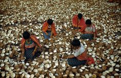 San Blas Indians crack coconuts for copra in Panama, November 1941. PHOTOGRAPH BY LUIS MARDEN, NATIONAL GEOGRAPHIC