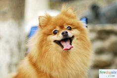 yellow pomeranian puppies!! hes sooo cute