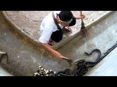 A Quiver of Cobras #Cobras #YouTube