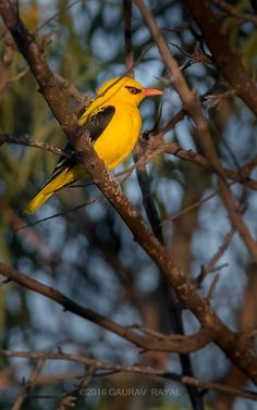 Golden oriole taking ritual morning sun bath, before it is mobbed by jealous drongos on the dried tree next to swimming pool of my apartment building i... - Gaurav Rayal - Google+