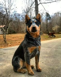 Absolutely gorgeous heeler coloring