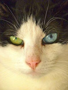 Noir et blanc cat. The blue eye is the crazy one.