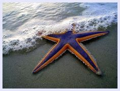 Funny pictures about Magnificent Starfish. Oh, and cool pics about Magnificent Starfish. Also, Magnificent Starfish photos. Beautiful Creatures, Animals Beautiful, Animals Amazing, Starfish Species, Wale, Ocean Creatures, Underwater Creatures, Underwater Life, Tier Fotos