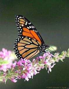 fotos de mariposas que hay en nuevo leon