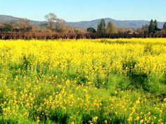 The mustard in bloom in the vineyards. February 2016