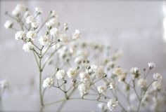 Baby's breath Babys Breath Flowers, Queen Annes Lace, Babies Breath, Floral, Plants, Snow, Tattoos, Nails, Art