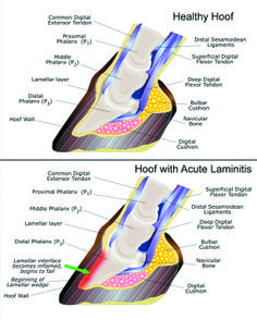 Advice about Laminitis - a painful condition of the feet. The actual word laminitis means 'inflammation (itis) of the sensitive laminae (lamin)'. Horse Anatomy, Animal Anatomy, Horse Information, Horse Care Tips, Horse Facts, Horse Camp, Veterinary Medicine, Horse Love, Show Horses