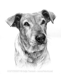 Dog portrait drawing in graphite pencil