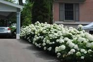 Snow hill Hydrangea For Sale