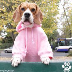 Pink hoodie #beagle #yummypets