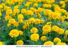 Yellow Marigold Flowers Stock Photo (Edit Now) 581450230 Pink Backdrop, Marigold Flower, Leaf Crafts, Paper Wallpaper, Watercolor Wedding, Quote Prints, Colorful Flowers, Royalty Free Photos, Nature Photography