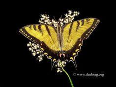 Butterfly scratchboard - photo#20