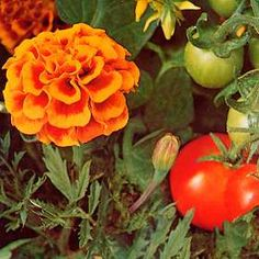 For many decades in certain parts of the old world it has been the practice to grow African or French marigolds of a certain type to repel white fly on tomatoes in greenhouses or outdoors. It has also been found that the tomatoes grow better and bear more fruit with marigolds around them.