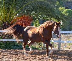 Quarter Horse   by©estrela