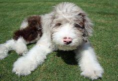 Kora the Australian Shepherd- Poodle mix Australian Shepherds, Australian Shepherd Poodle Mix, Blue Merle, I Love Dogs, Cute Dogs, Husky, Schnauzer Mix, Puppies And Kitties, Doggies