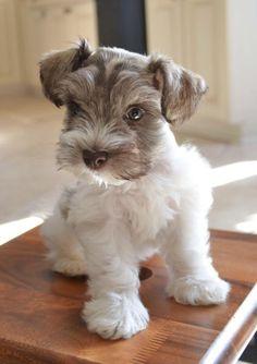 Schnauzer puppy Link: https://www.sunfrog.com/search/?64708&search=schnauzer&cID=62&schTrmFilter=sales